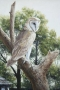 barn owl 2008