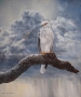black-shouldered kite 2003